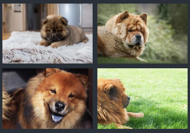 Chow chow growth rate