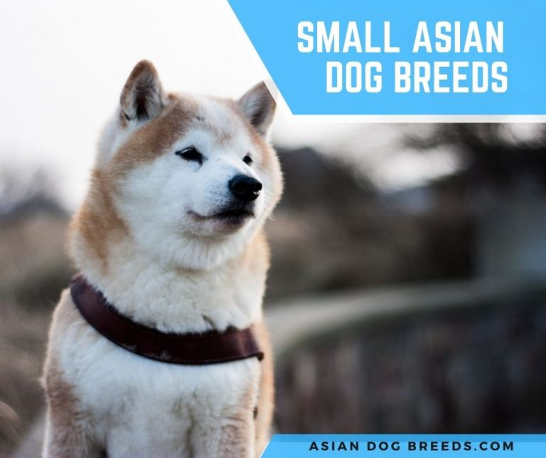 10 Small Asian Dog Breeds That Really Small With Pictures