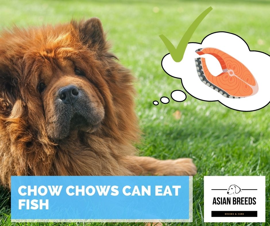 Chow chows can eat fish