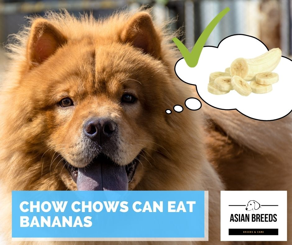 Chow chows can eat bananas